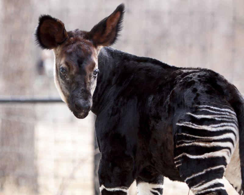 2 okapi