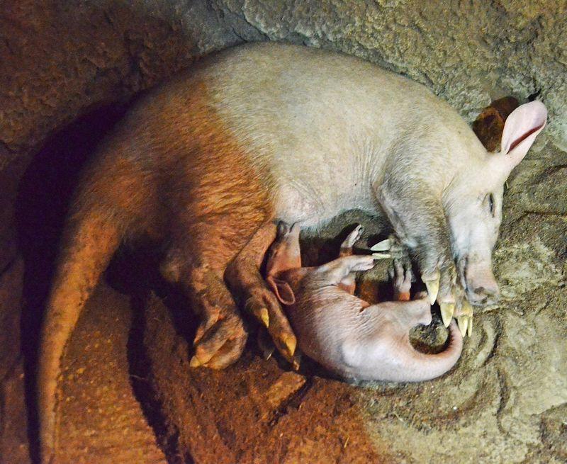 1 aardvark