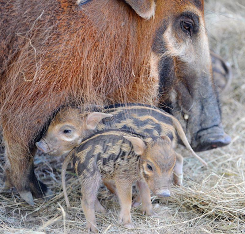 6 hog