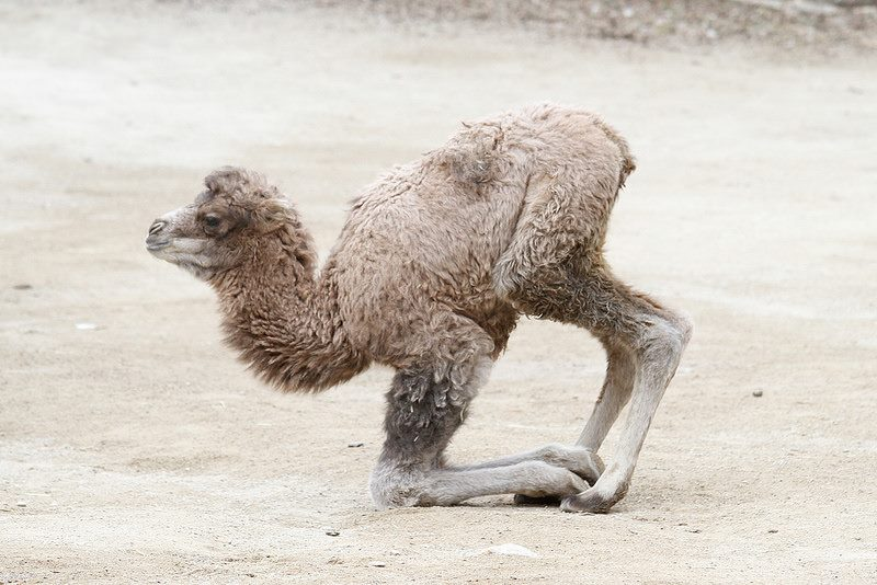 Bactrian Camel Takes His First Steps At Cincinnati Zoo Zooborns