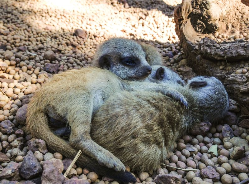 Perth Zoo Meerkat Kits March