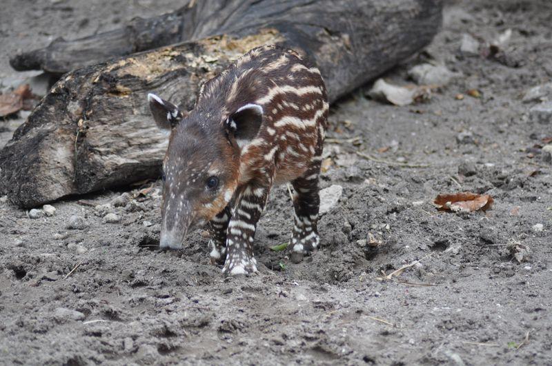 Tapir by log