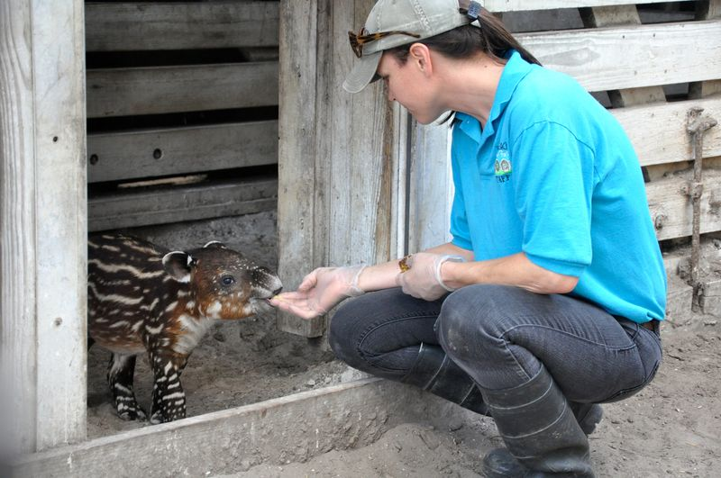 Tapir eats out of Keeper April Winters hand