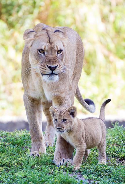 Zoo Miami's Lion Cub Makes His First Public Appearance