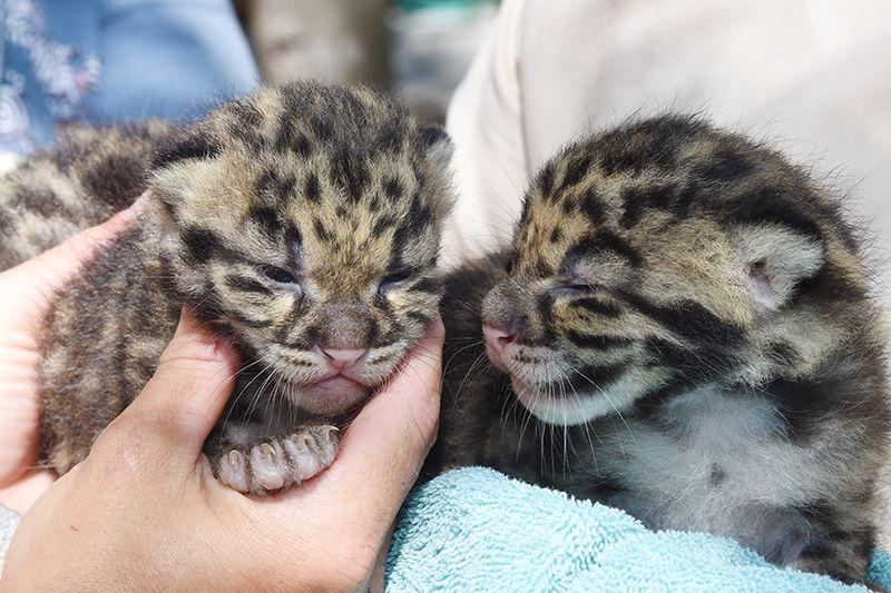 4 leopard