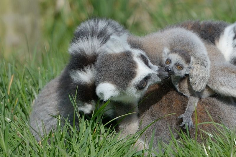 Ring tailed lemur mum Hasina with one of her babies at Longleat