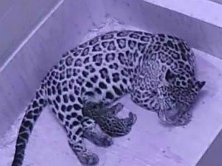 Jaguar cub 2 - Cam