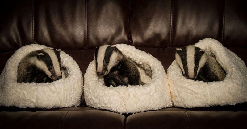 3 badger