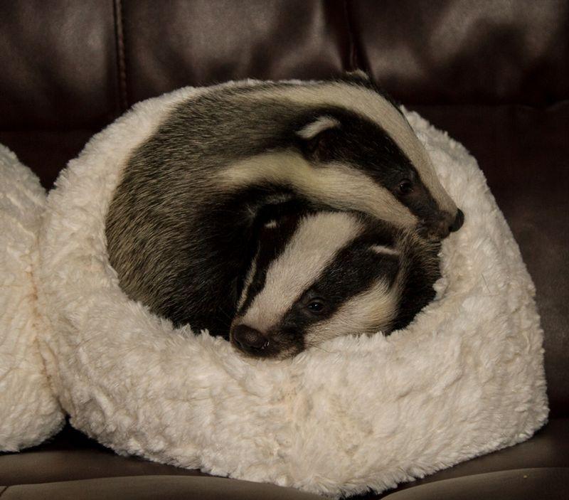 4 badger
