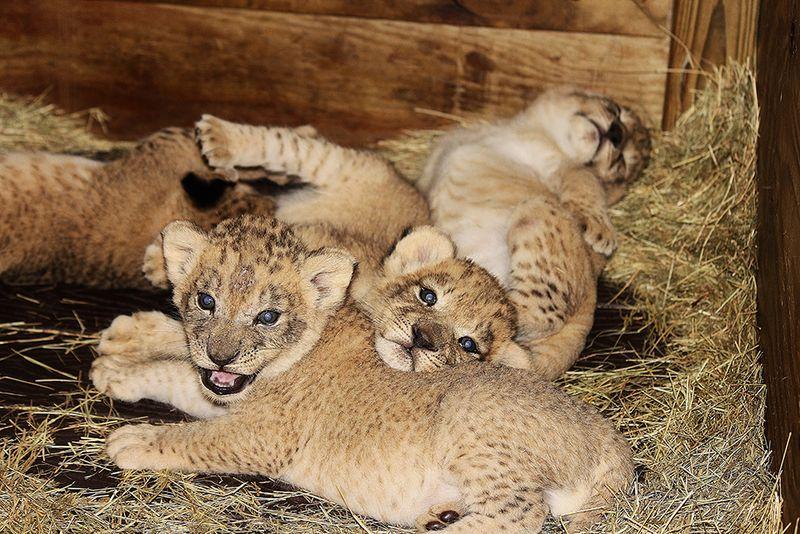 Kashifa cubs 12 IB