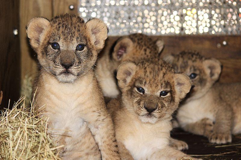 Kashifa cubs 7 IB
