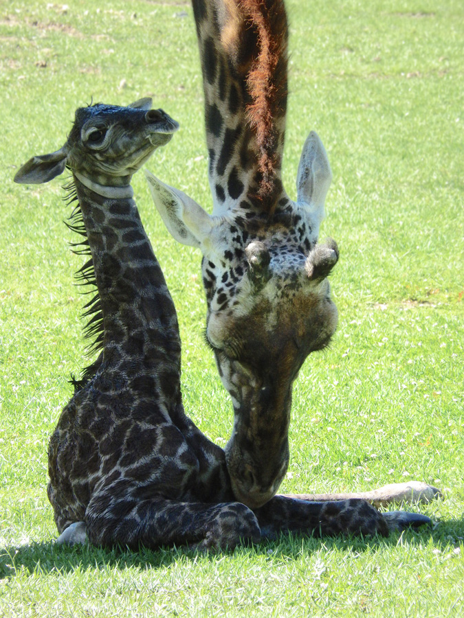 5 giraffe