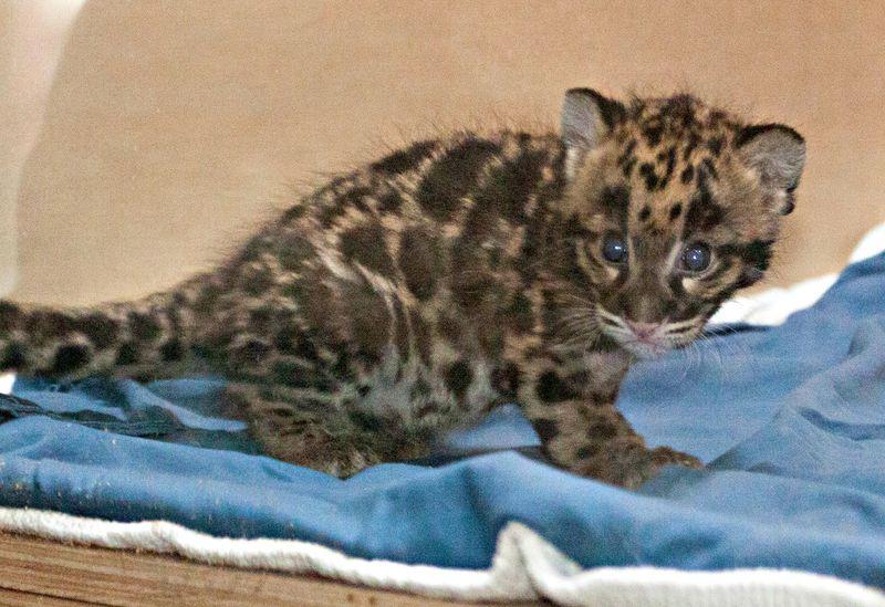 Clouded_leopard_cubs_on_exhbit01