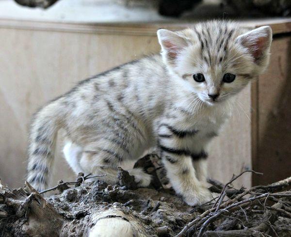 Sand Cat Trio Born at Zoo Brno