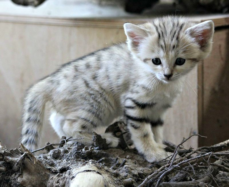 Sand Cat Zooborns
