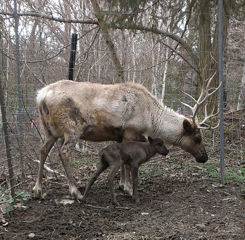 Reindeer and baby 3 (2)