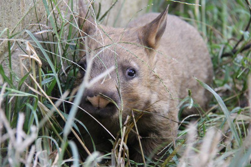 4 wombat