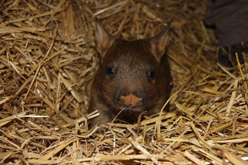 6 wombat