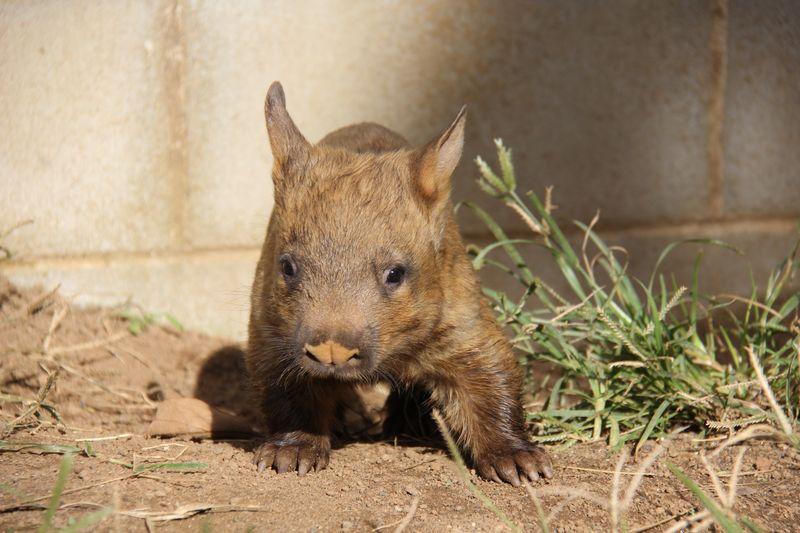 1 wombat