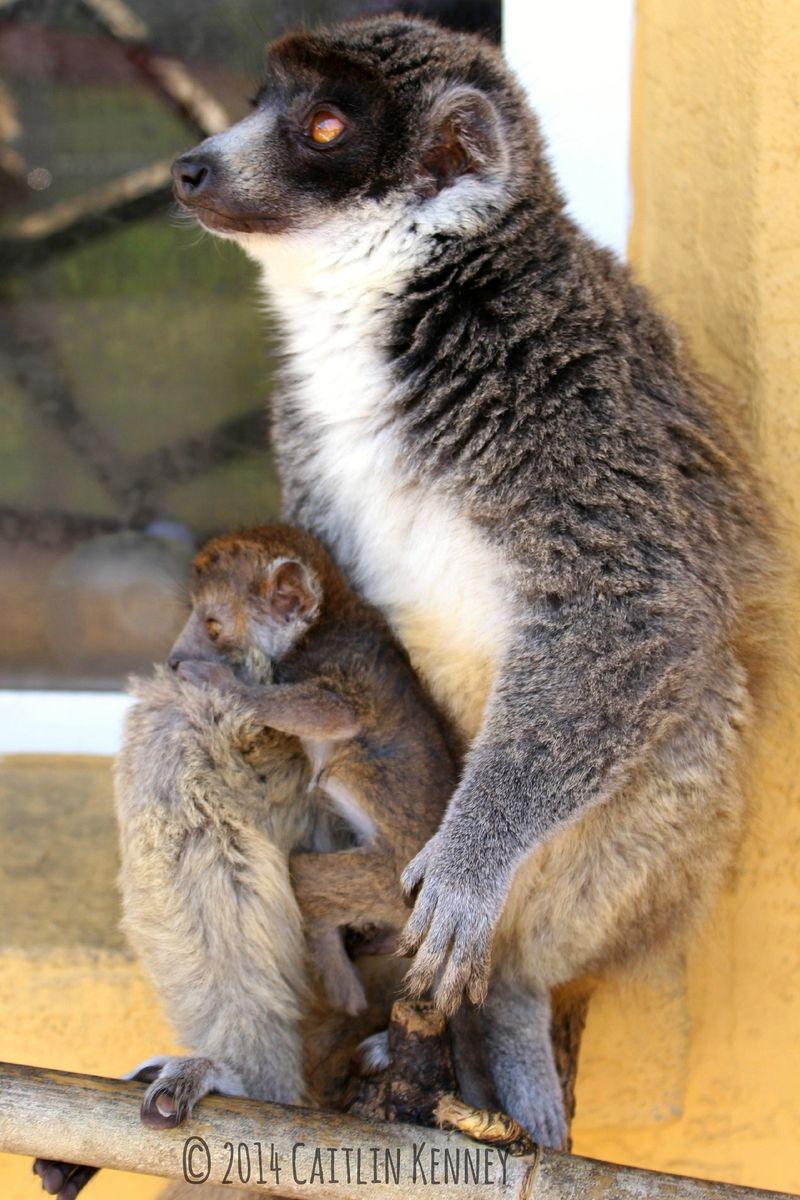 4 lemur