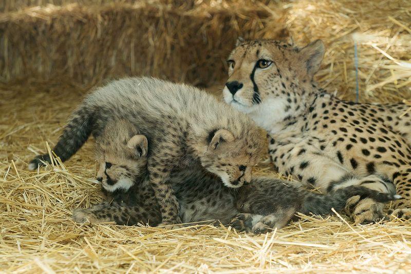 Gepard_11_TGS_Zupanc