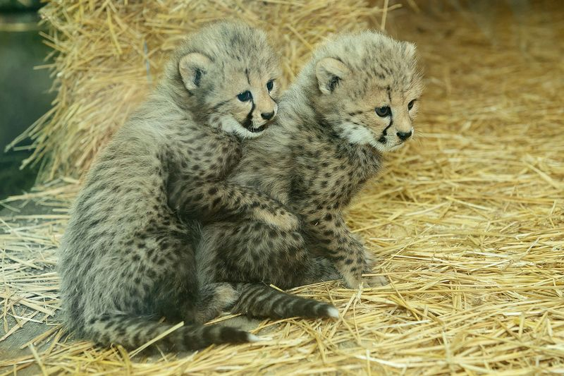 Gepard_18_TGS_Zupanc