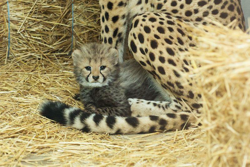 Gepard_20_TGS_Zupanc