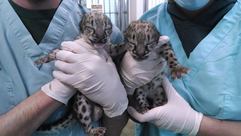 Snow leopard cubs 2 days old
