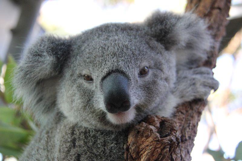 Koala Joeys 8_Paul Fahy