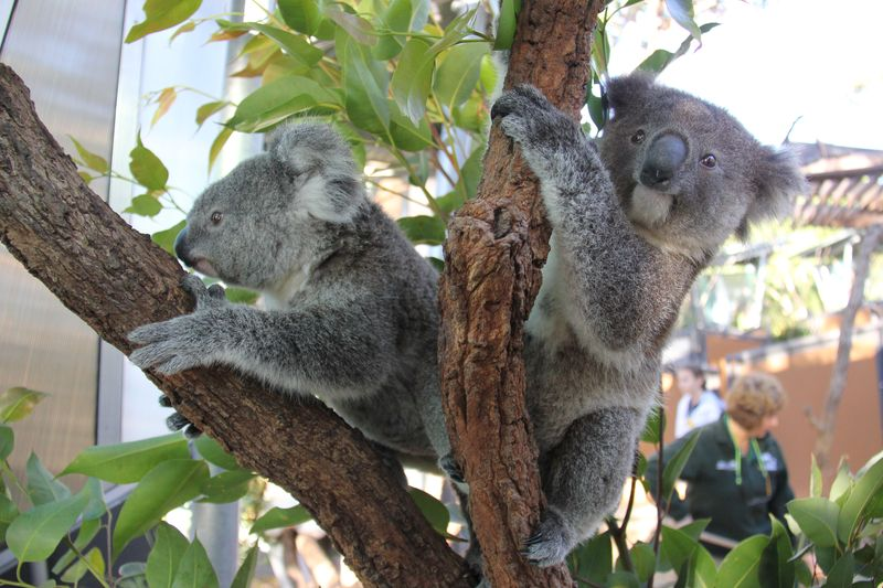 Koala Joeys 3_Paul Fahy