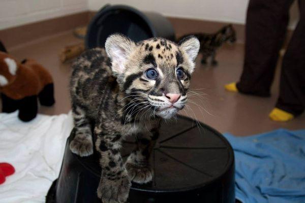Denver Zoo S Clouded Leopard Cubs Socialize Zooborns
