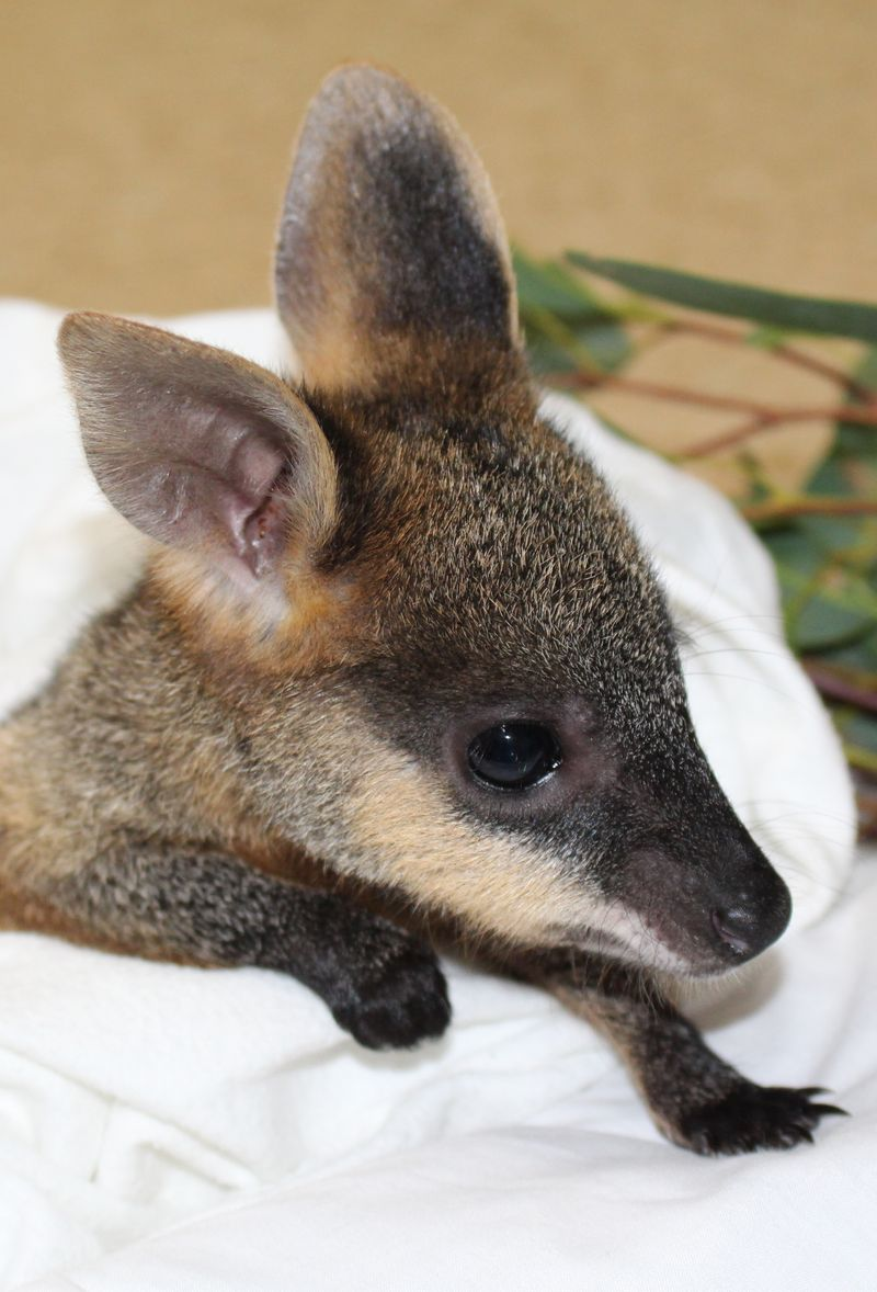 Swamp Wallaby joey 3 June 2014 (16)CROP