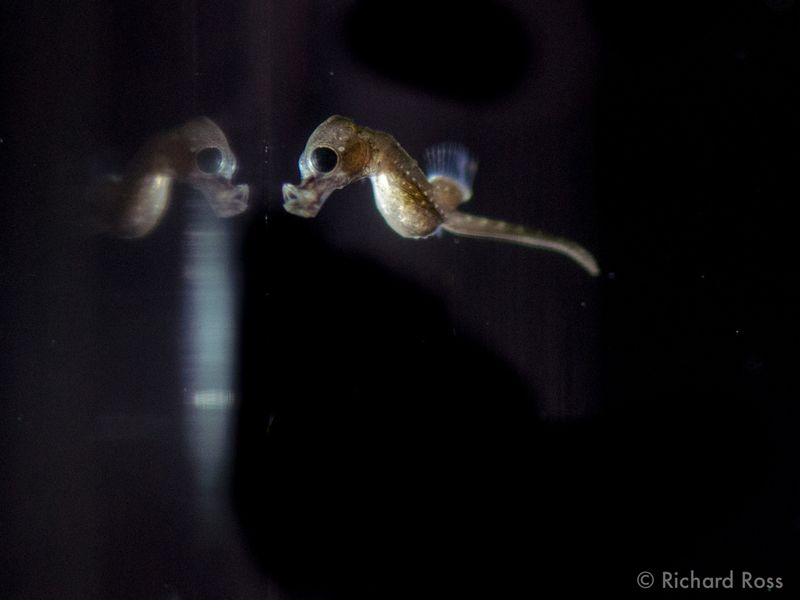Seahorse-BBC_8134