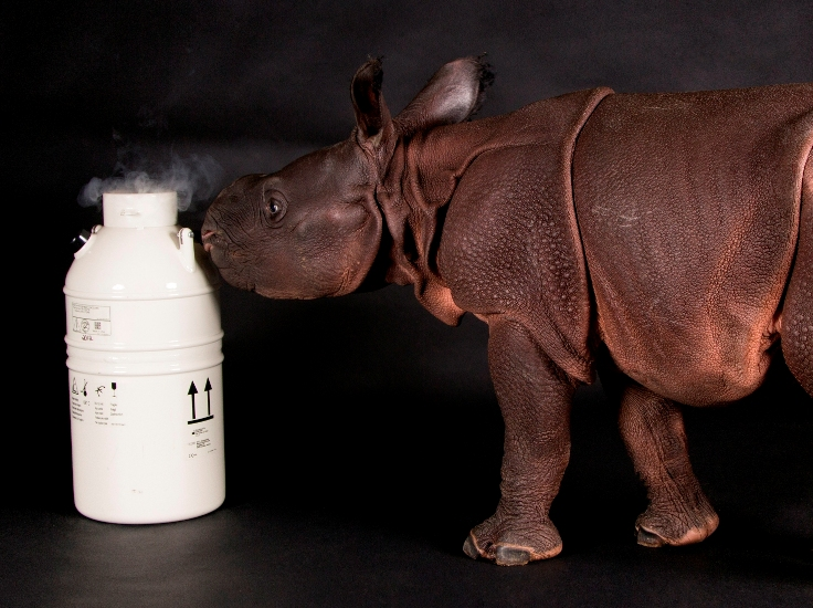 Rhino calf Monica and Cryo-Bio Bank