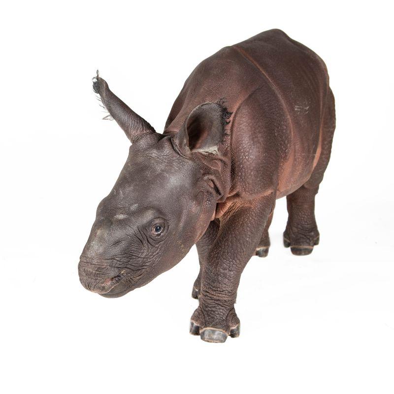 Rhino calf Monica