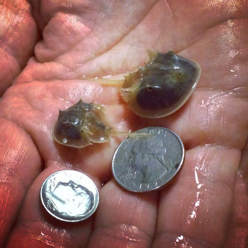 Horseshoe crabs - instagram photo 5x5