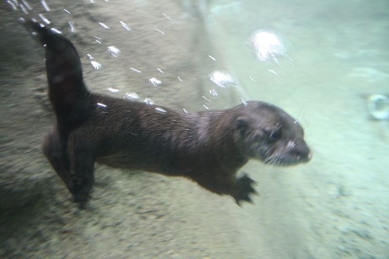 Otter Pup Learning to Swim - Jennie Miller