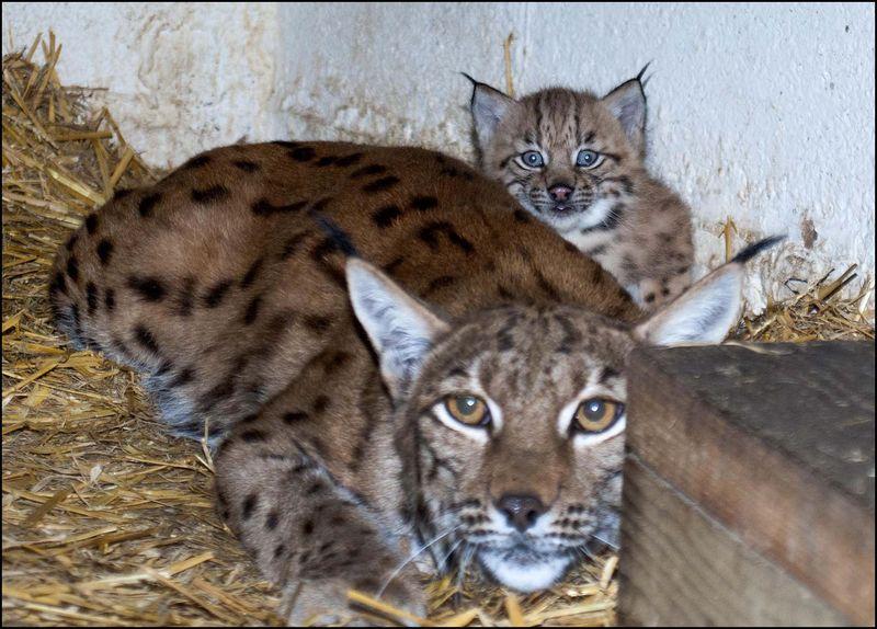 DZG_Lynx_Cub_1