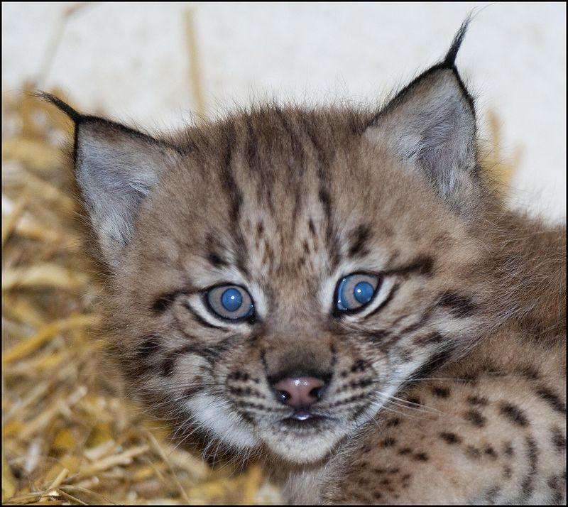 DZG_Lynx_Cub_4