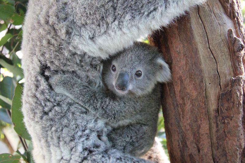 First Koala Joey Of The Season At Taronga Zoo Zooborns