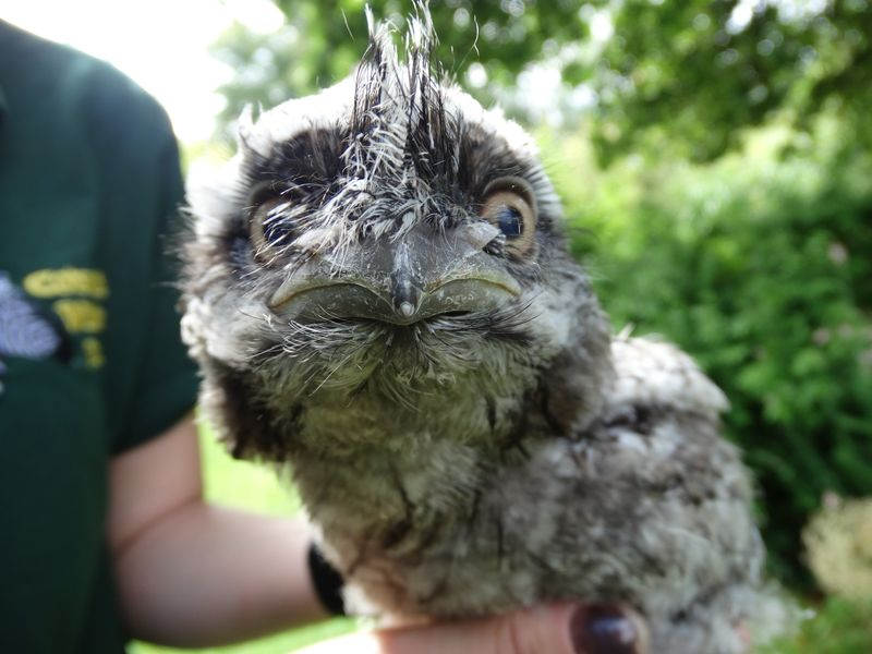 DR Frogmouth 6