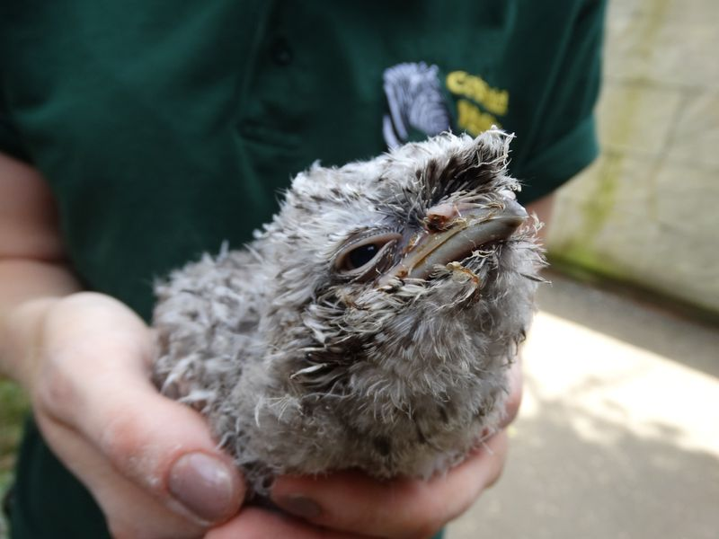 DR-Frogmouth-baby-Jade's-hands-2