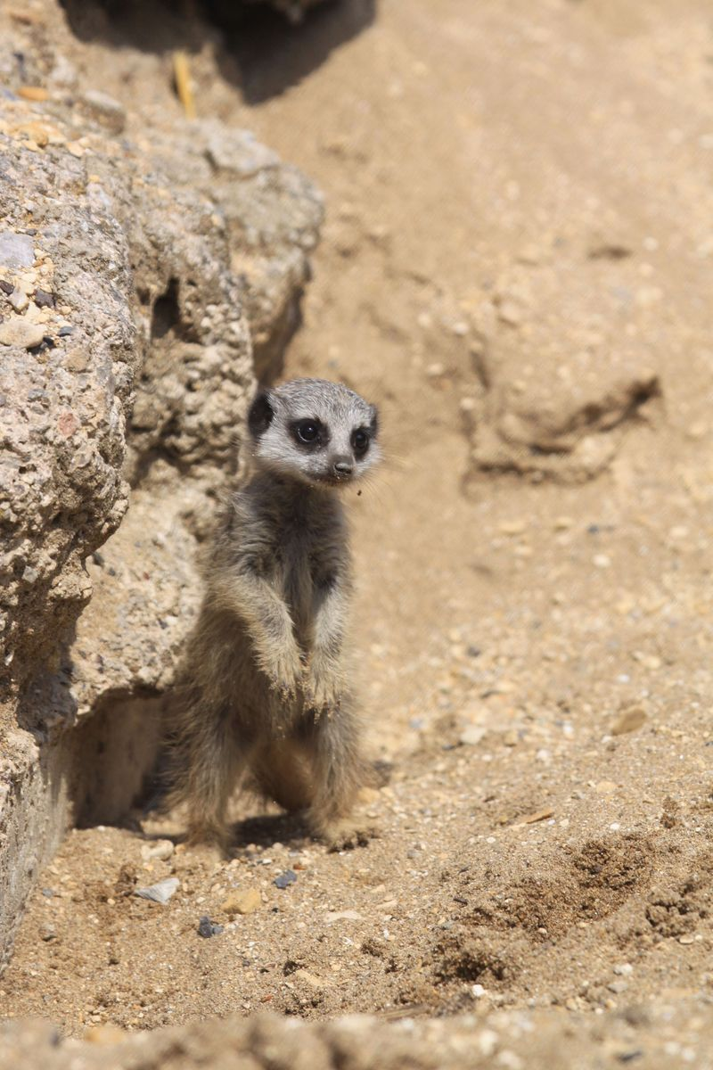 Baby meerkat at Longleat Safari and Adventure Park one PIC Ian Turner
