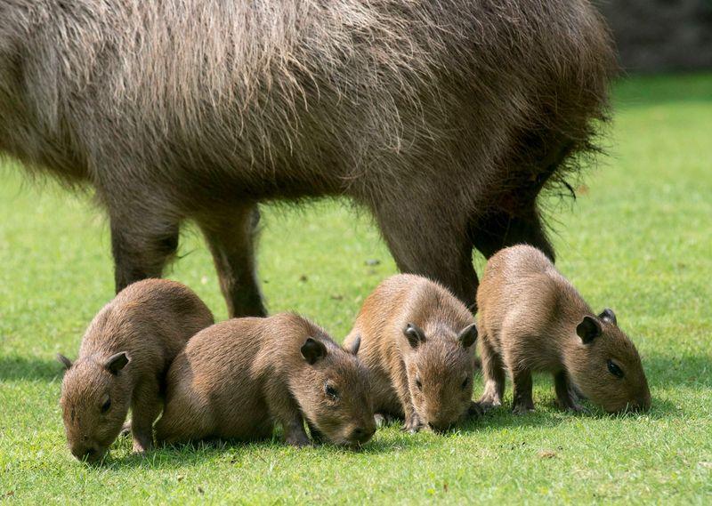 Capybara_Zoo Berlin_2