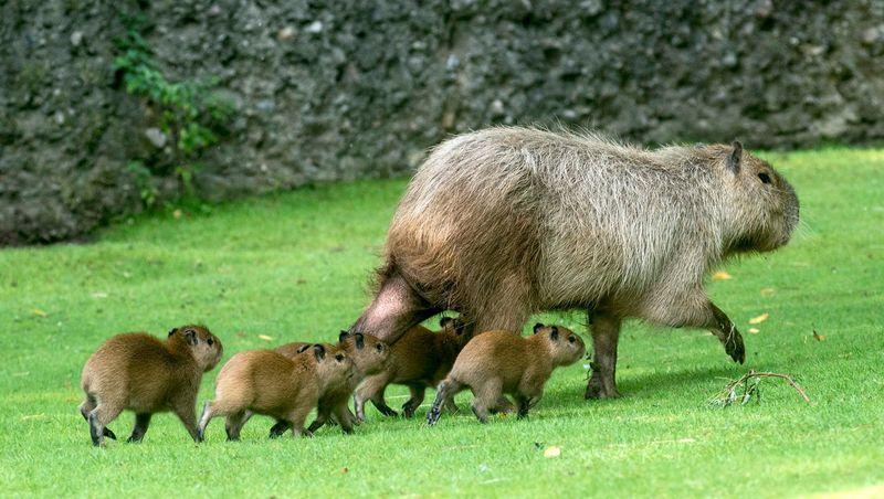 Capybara_Zoo Berlin_4
