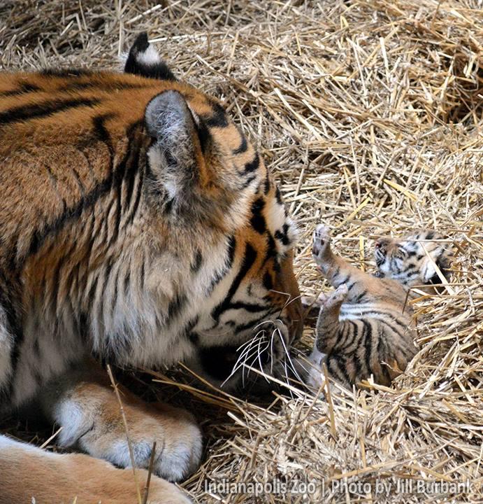 Tiger cub_Indianapolis Zoo_3