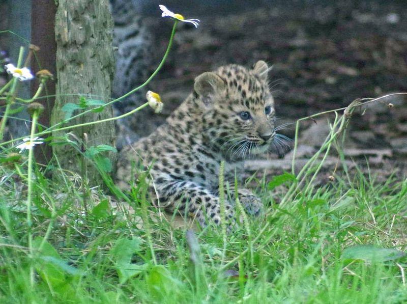 Amur Leopards_Twycross_6
