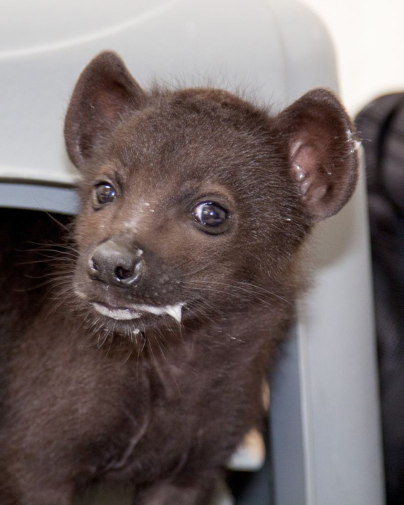 Spotted_hyena_pup_03
