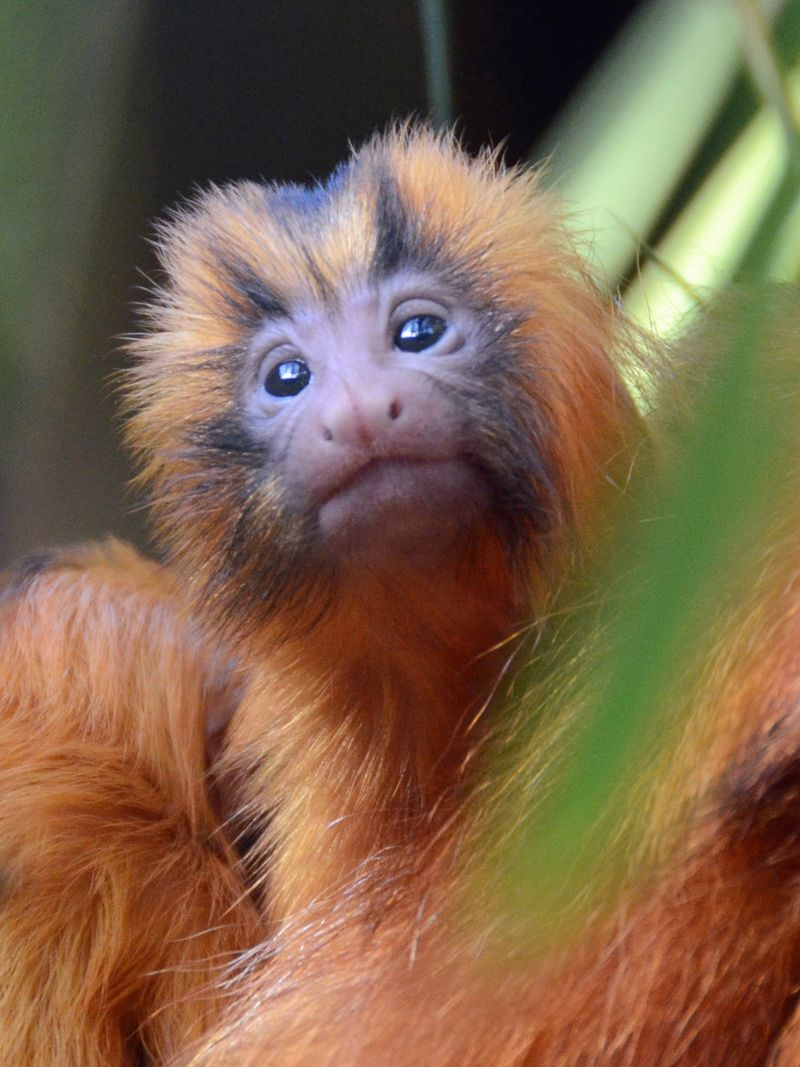 SB Zoo Golden Lion Tamarin 2