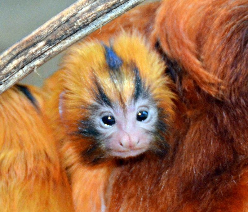 SB Zoo Golden Lion Tamarins family2